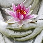 lotus in hands of Buddha statue